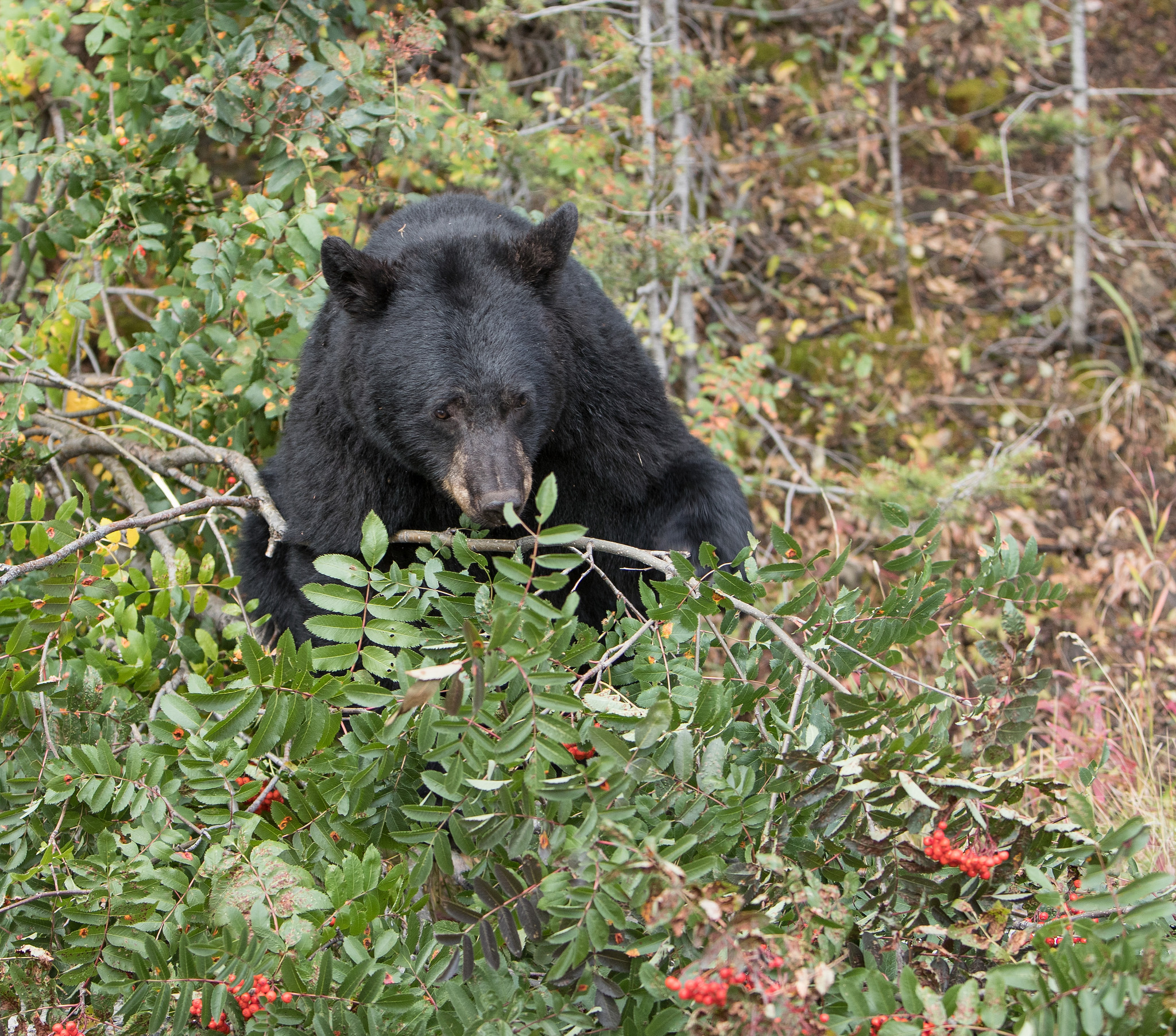 Fall Black Bear - NPS