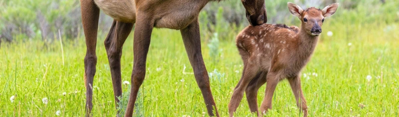 Spring Babies at Nature's Favorite Entrance to Yellowstone