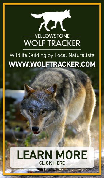 Yellowstone Wolf Tracker