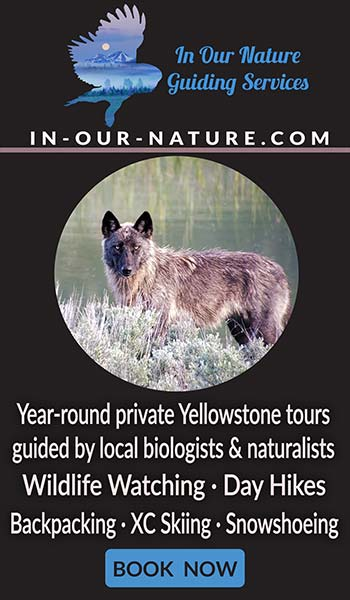 In Our Nature Guiding Services - Year-round private Yellowstone tours guided by local biologists & naturalists - Wildlife Watching - Day Hikes - Backpacking - XC Skiing - Snowshoeing - https://in-our-nature.com