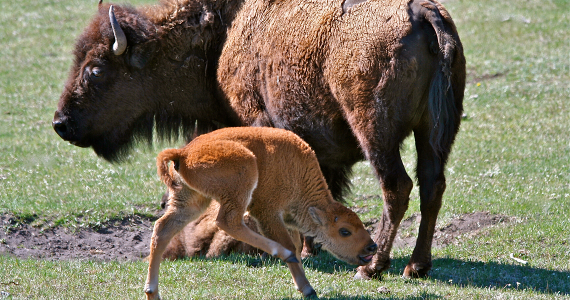 bison_baby.png