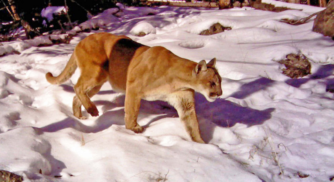 Cougar Yellowstone web1100X600