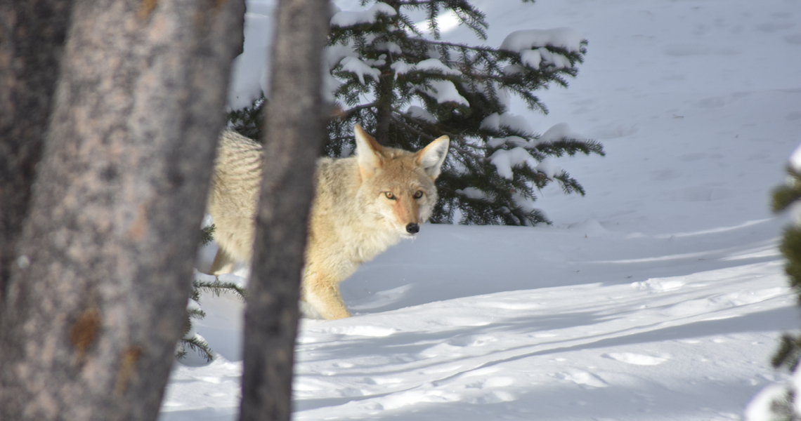 Coyote on the way to Snowlodge