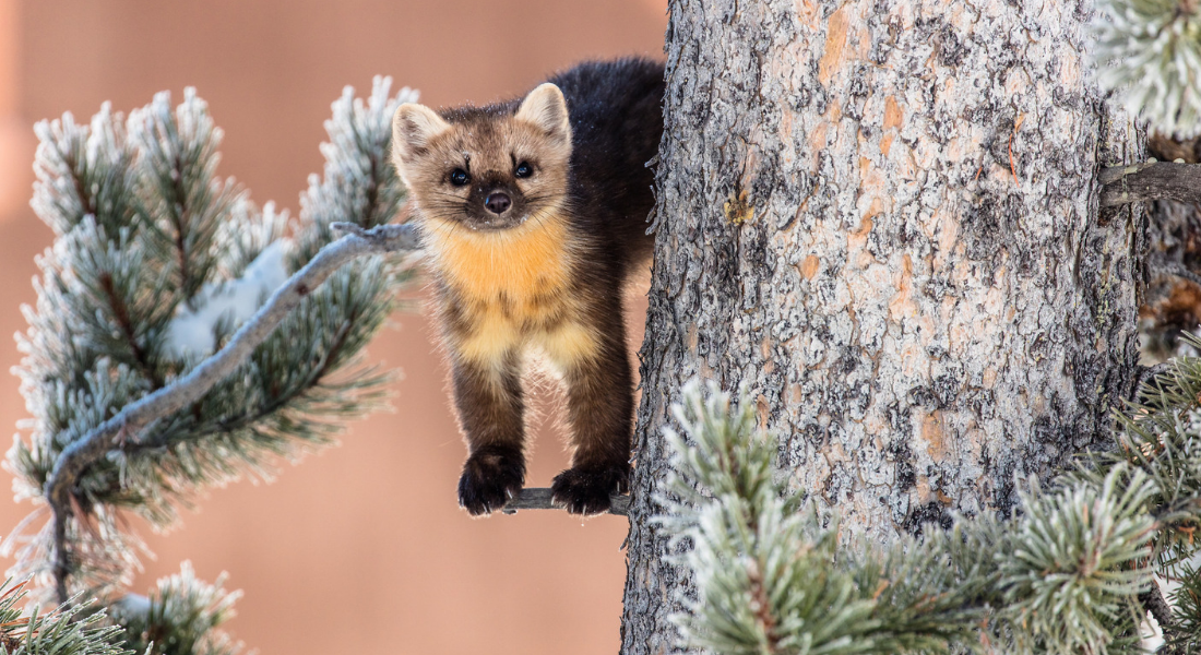 Marten Yellowstone web1100X600