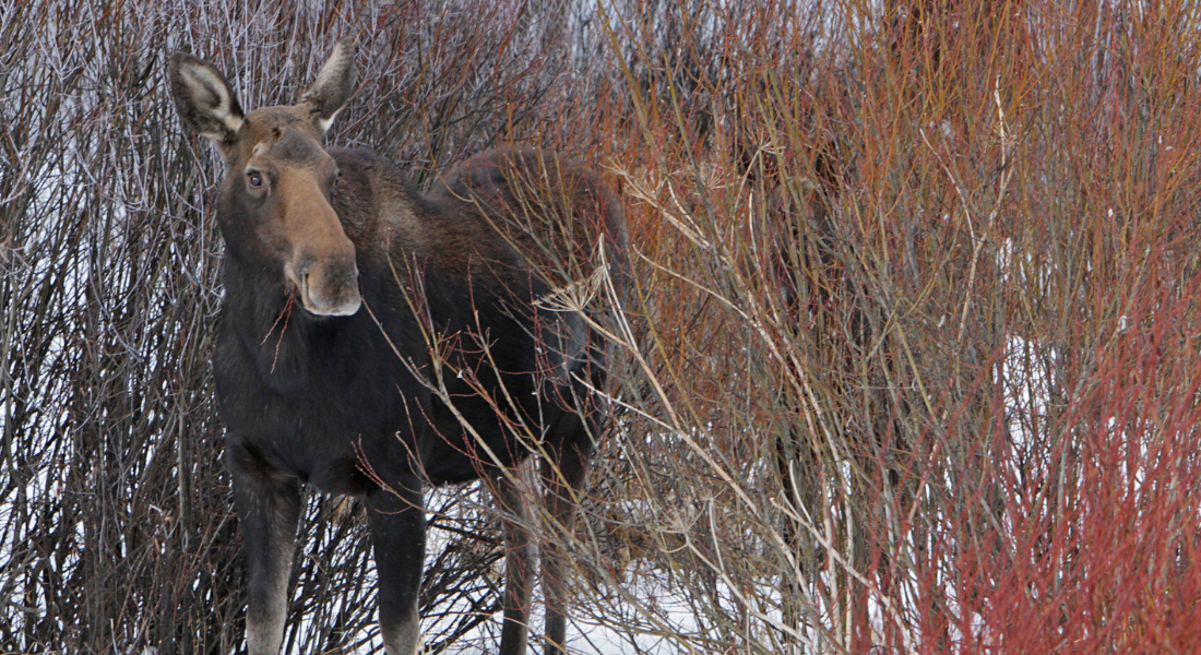 Moose Yellowstone web1100X600