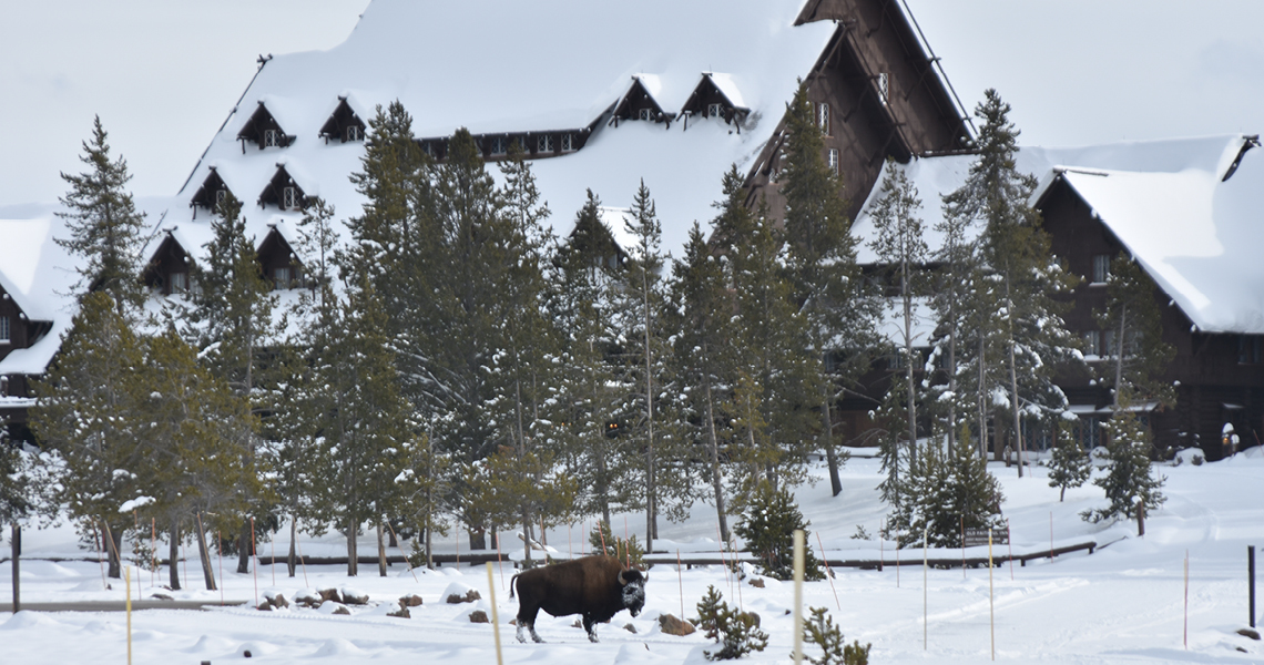 Old Faithful Inn and bison