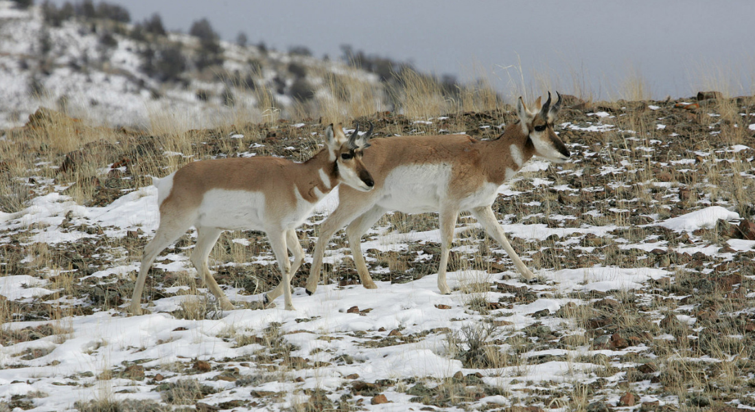 Pronghorn Yellowstone web1100X600