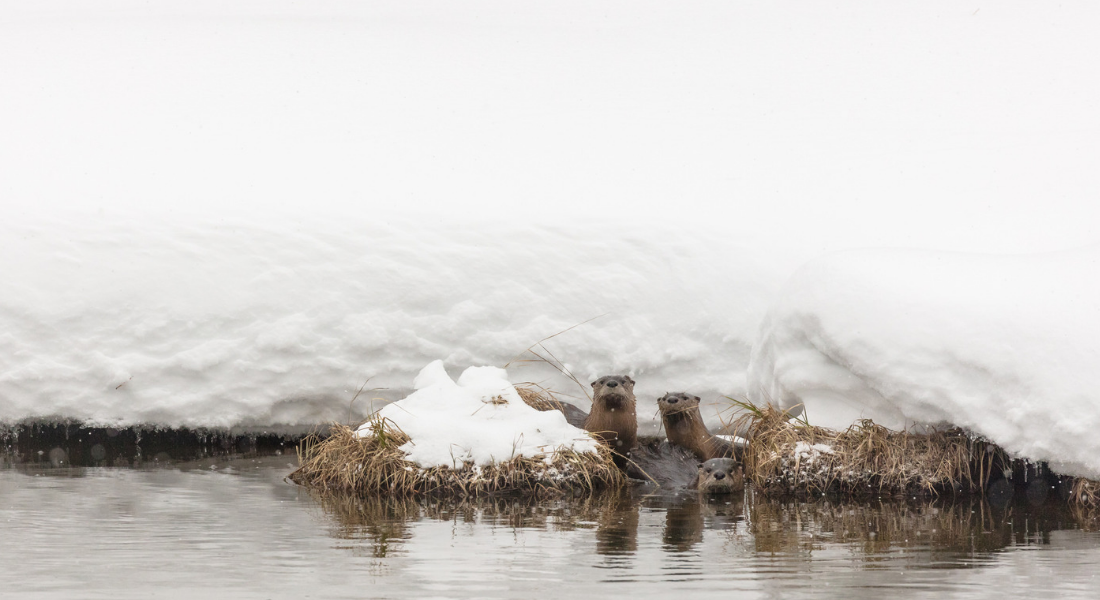 RiverOtters Yellowstone web1100X600