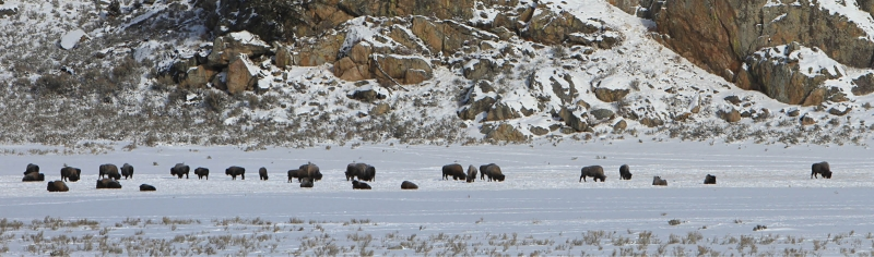 Winter Wildlife Watching on the Yellowstone Northern Range