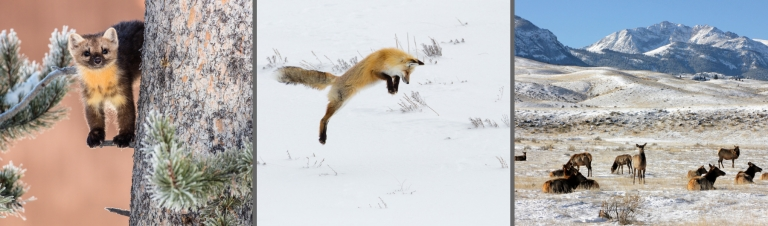 All About Yellowstone's Winter Wildlife