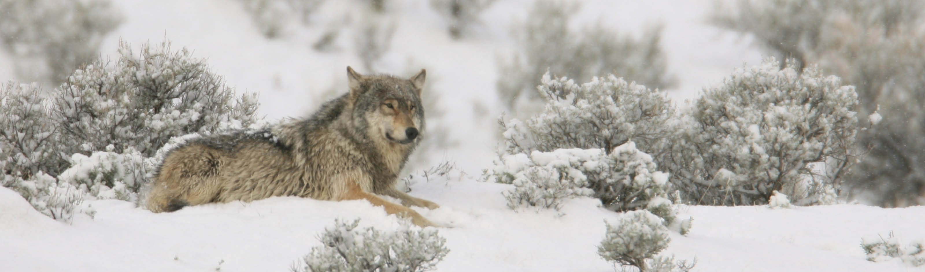 Yellowstone Wolf Tracker Package